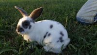 Mini Rex Rabbits for sale in Whitwell, TN 37397, USA. price: NA