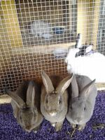 Mini Rex Rabbits for sale in Cedartown, GA 30125, USA. price: NA