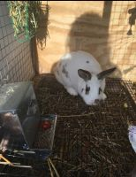 Mini Rex Rabbits for sale in Laingsburg, MI 48848, USA. price: NA