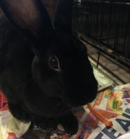 Mini Rex Rabbits for sale in Midland, MI, USA. price: NA