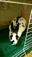Mini Rex Rabbits for sale in Hampton, GA 30228, USA. price: NA