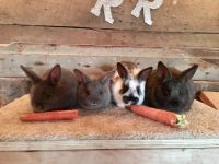 Mini Rex Rabbits for sale in Carlisle, PA 17013, USA. price: NA