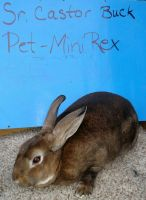 Mini Rex Rabbits for sale in Lennon, MI 48449, USA. price: NA