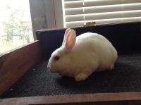 Mini Rex Rabbits for sale in Cuyahoga Falls, OH, USA. price: NA