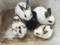 Mini Rex Rabbits for sale in Mt Airy, GA 30563, USA. price: NA