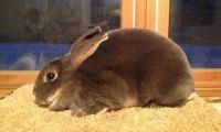 Mini Rex Rabbits for sale in Long Valley, Washington Township, NJ 07853, USA. price: NA