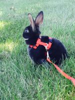 Mini Rex Rabbits for sale in Sterling Heights, MI, USA. price: NA