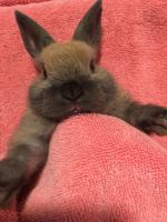 Mini Rex Rabbits for sale in Thomaston, CT 06787, USA. price: NA