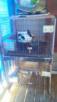 Mini Rex Rabbits for sale in Rutland, OH, USA. price: NA