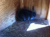 Mini Rex Rabbits for sale in Philippi, WV 26416, USA. price: NA