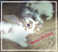 Mini Rex Rabbits for sale in Katy, TX, USA. price: NA