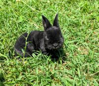Mini Rex Rabbits for sale in 40 Pruitt Rd, Alpharetta, GA 30004, USA. price: NA