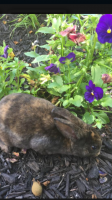 Mini Rex Rabbits for sale in Monroe Township, NJ 08831, USA. price: NA