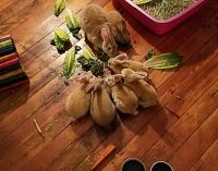 Mini Rex Rabbits for sale in North Haven, CT 06473, USA. price: NA