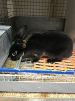 Mini Rex Rabbits for sale in Sandy Spring, Ashton-Sandy Spring, MD, USA. price: NA