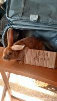 Mini Rex Rabbits Photos