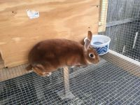 Mini Rex Rabbits for sale in Hainesport, NJ, USA. price: NA