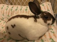 Mini Rex Rabbits for sale in East Berlin, PA 17316, USA. price: NA