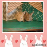 Mini Rex Rabbits for sale in McComb, MS, USA. price: NA