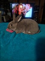 Mini Rex Rabbits for sale in Granville, NY 12832, USA. price: NA