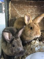 Mini Rex Rabbits for sale in Loxahatchee, FL 33470, USA. price: NA