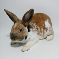 Mini Rex Rabbits for sale in Batavia, NY 14020, USA. price: NA