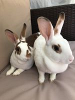 Mini Rex Rabbits for sale in Irvine, CA, USA. price: NA