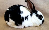 Mini Rex Rabbits for sale in Port St. Lucie, FL, USA. price: NA