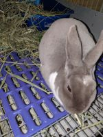 Mini Rex Rabbits for sale in Slatington, PA, USA. price: NA