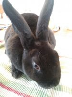 Mini Rex Rabbits for sale in Independence, MO, USA. price: NA