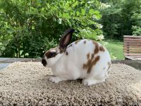 Mini Rex Rabbits for sale in Decatur, IN 46733, USA. price: NA