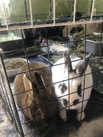 Mini Rex Rabbits for sale in St Robert, MO 65584, USA. price: NA
