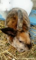 Mini Rex Rabbits for sale in Warren, MI, USA. price: NA