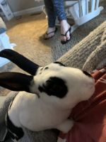 Mini Rex Rabbits for sale in London, OH 43140, USA. price: NA