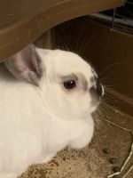 Mini Rex Rabbits for sale in Cary, NC, USA. price: NA