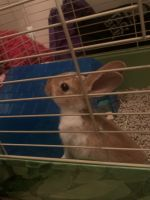 Mini Rex Rabbits for sale in McDonough, GA, USA. price: NA