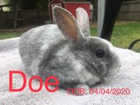 Mini Rex Rabbits for sale in Birch Run, MI 48415, USA. price: NA