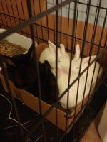 Mini Rex Rabbits for sale in Sanford, NC, USA. price: NA