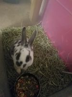 Mini Rex Rabbits for sale in 670 Hill Dr, Hoffman Estates, IL 60169, USA. price: NA