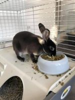 Mini Rex Rabbits for sale in North Hollywood, Los Angeles, CA, USA. price: NA