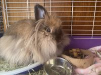 Mini Rex Rabbits for sale in Ravenna, OH 44266, USA. price: NA