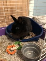 Mini Rex Rabbits for sale in Canonsburg, PA 15317, USA. price: NA