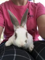Mini Rex Rabbits for sale in Crittenden, KY 41030, USA. price: NA