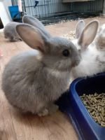 Mini Rex Rabbits for sale in Augusta, GA 30906, USA. price: NA