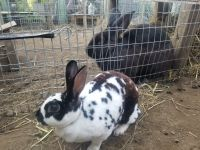Mini Rex Rabbits for sale in Burlington, NJ 08016, USA. price: NA
