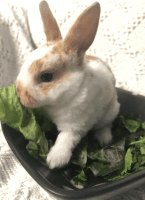 Mini Rex Rabbits for sale in Saylorsburg, PA, USA. price: NA