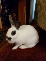 Mini Rex Rabbits for sale in Batesburg-Leesville, SC, USA. price: NA