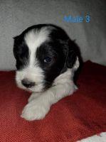 Mini Sheepadoodles Puppies Photos