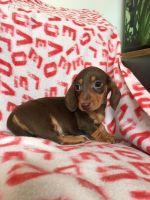 Miniature Dachshund Puppies for sale in 87052 470 Ave, Stuart, NE 68780, USA. price: NA