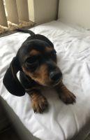 Miniature Dachshund Puppies for sale in Miami Beach, FL, USA. price: NA